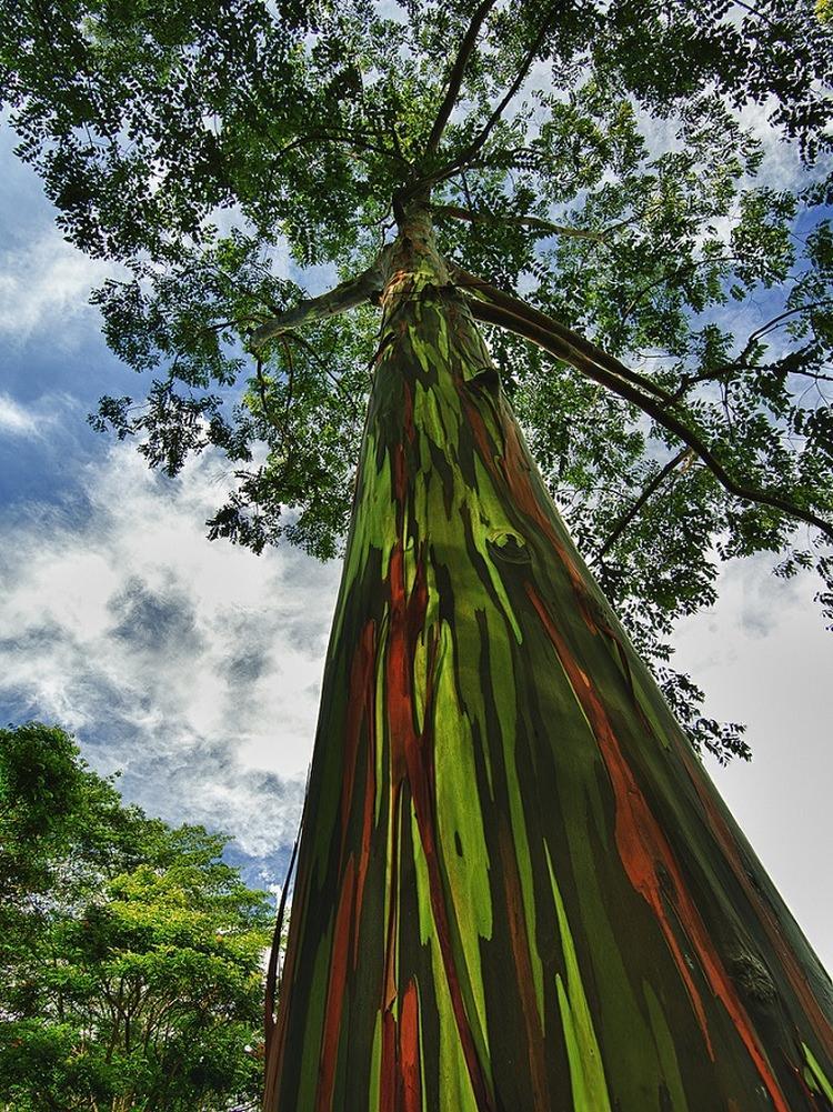 Tęczowy Eukaliptus