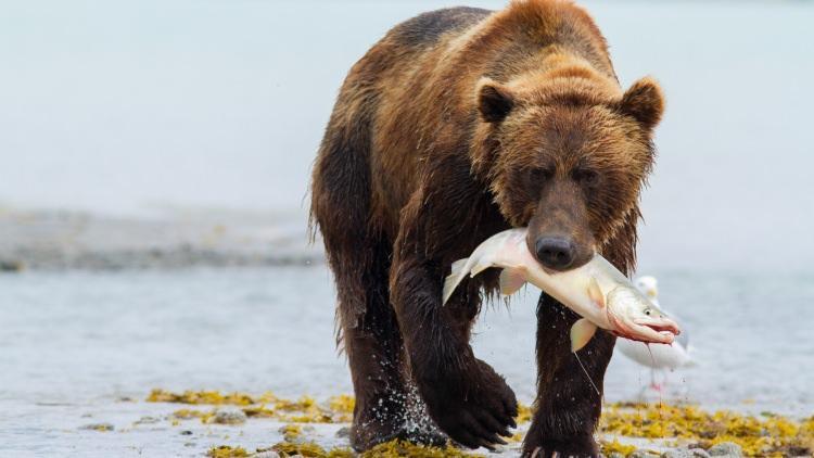 niedźwiedź ciekawostki