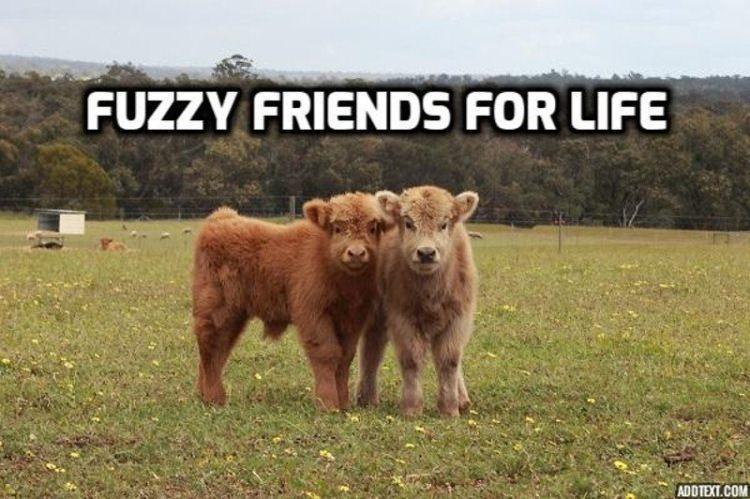 krowy ciekawostki