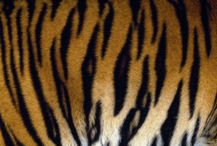tygrysy ciekawostki