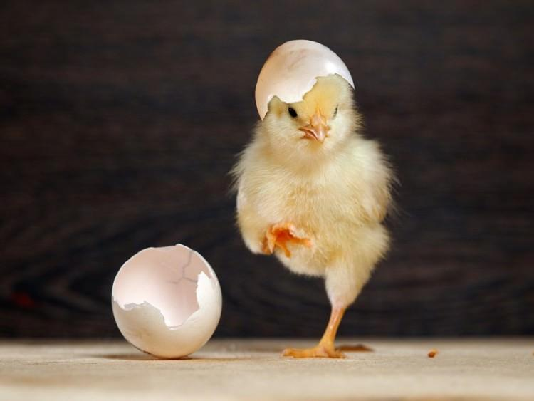 ciekawostki o kurczakach