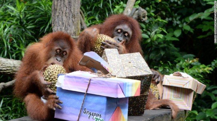 Orangutany i Durian