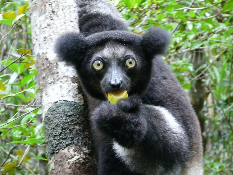 Indris krótkoogonowy