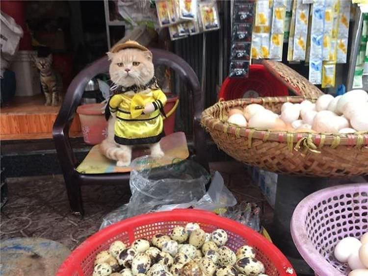 """kot """"Chó"""" z Wietnamu"""
