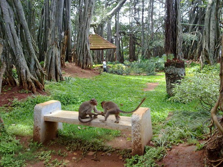 Figowiec Bengalski, Banian