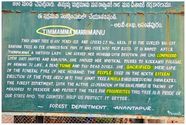 Thimmamma Marrimanu - ogromny figowiec bengalski