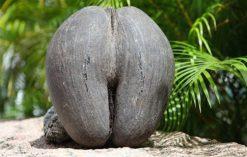 kokos morski