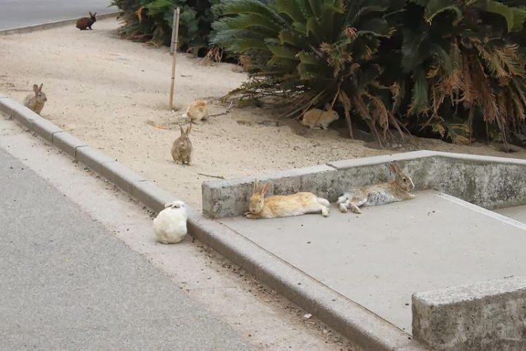 Okunoshima wyspa królików
