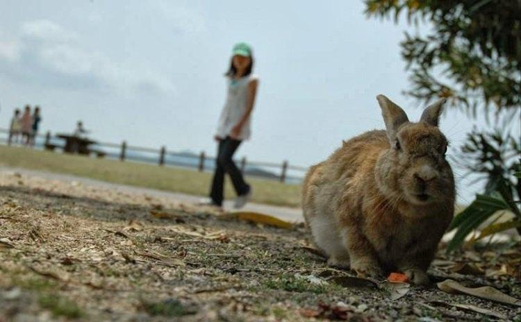 Wyspa królików w Japonii