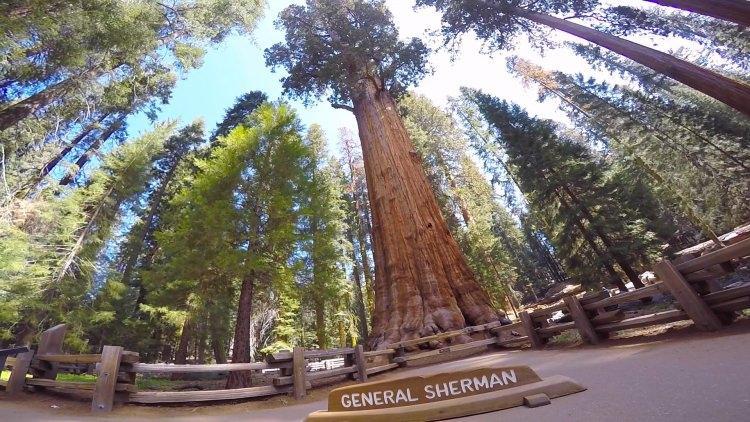Drzewo Generała Shermana - sekwoja olbrzymia