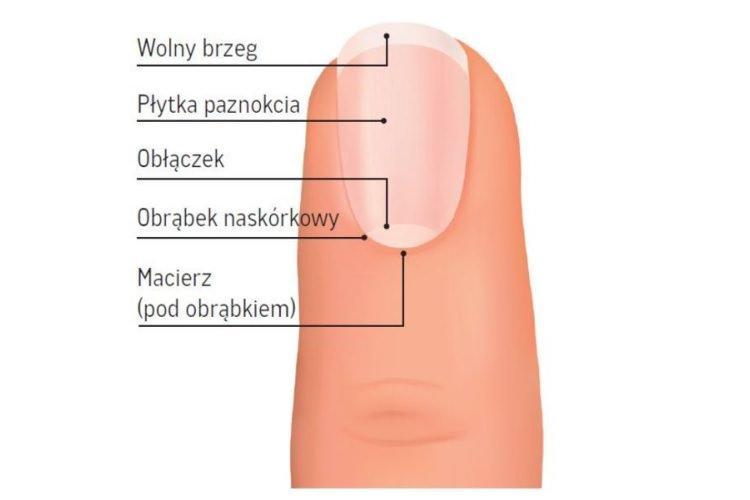 z czego zbudowany jest paznokieć