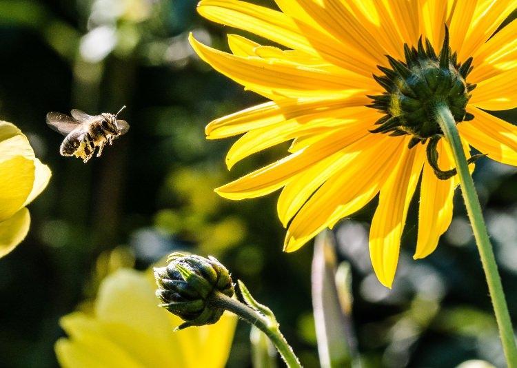pszczoły - dlaczego są tak ważne dla człowieka