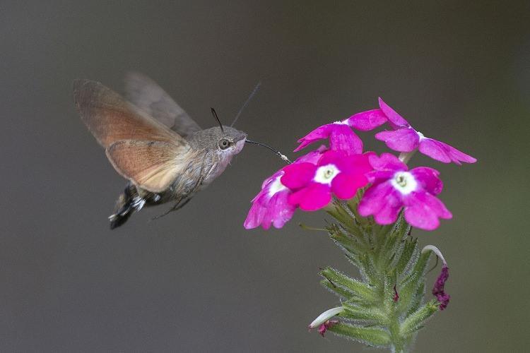 Motyl Fruczak gołąbek