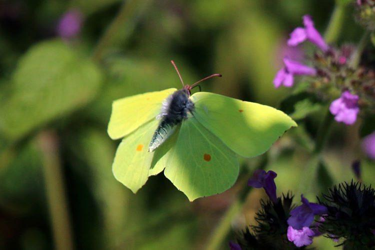 Motyl latolisek cytrynek