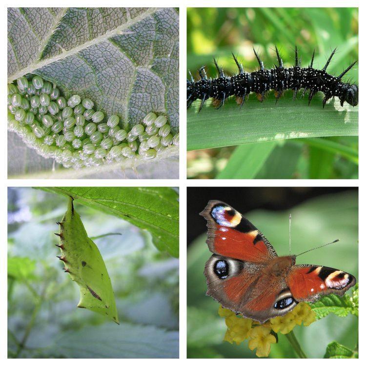 Stadia rozwojowe motyla rusałka pawik