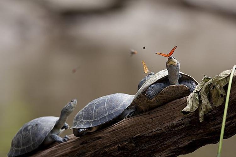 Motyl pijący łzę żółwia