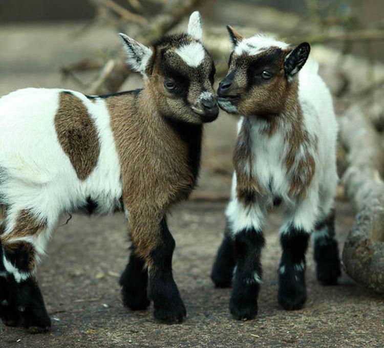 Koza pigmejska