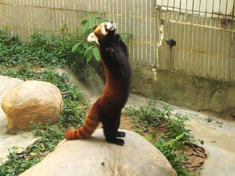 Pandka mała