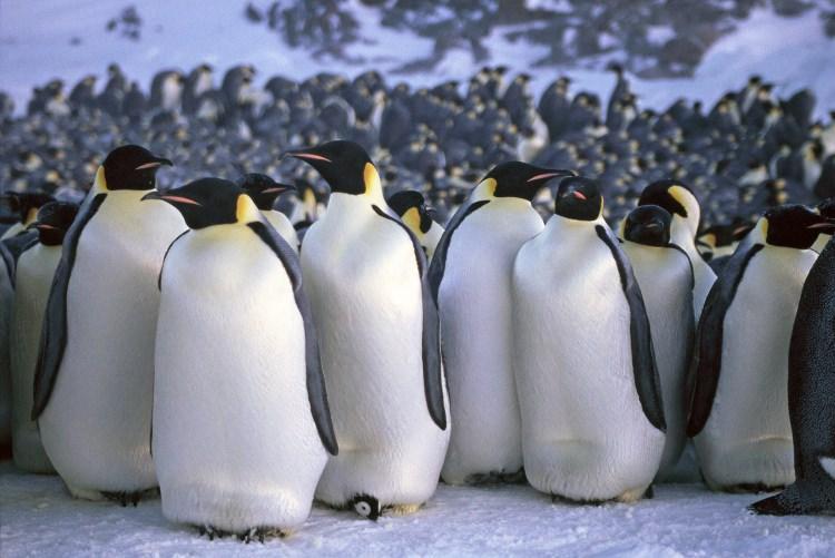 Jak Pingwiny znoszą niskie temperatury?