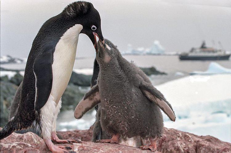 Pingwin białooki karmiący młode