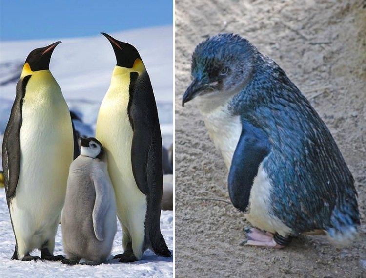 największe i najmniejsze Pingwiny świata