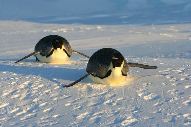 ciekawostki na temat pingwinów