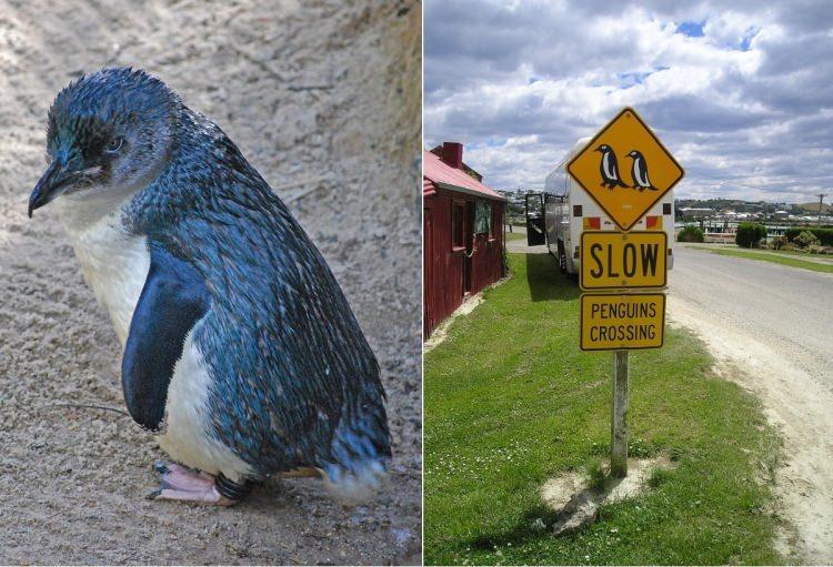 Uwaga Pingwiny - znak w Nowej Zelandii