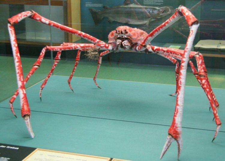Japoński krab pacyficzny największy stawonóg na świecie