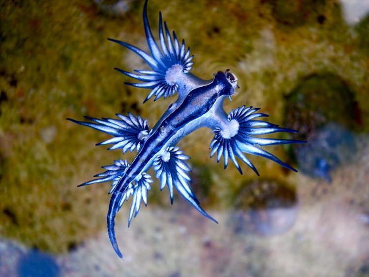Jaskółka Morska ślimak
