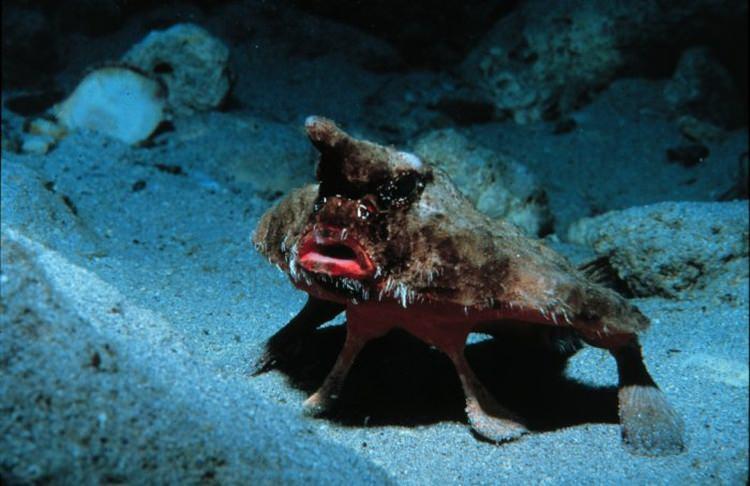 Ogcocephalus parvus nietoperz morski