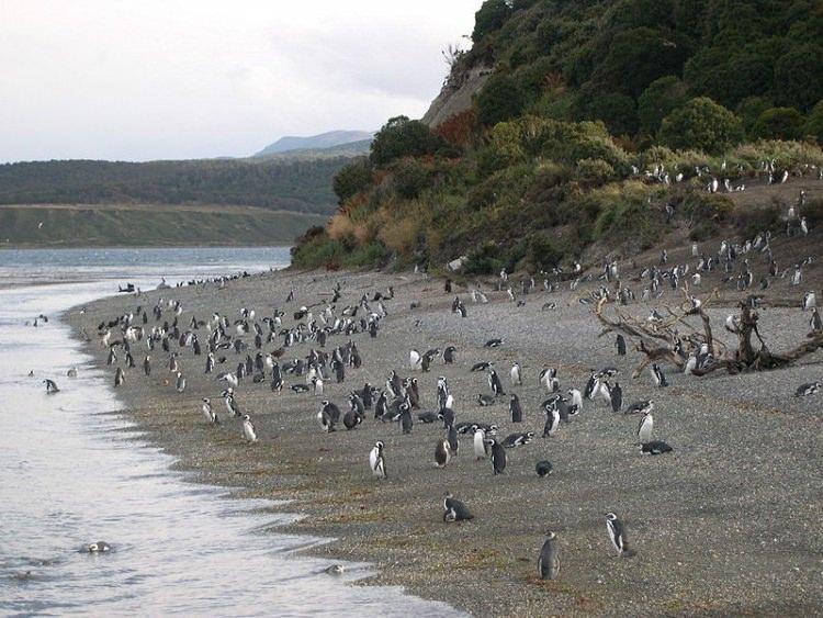 Pingwiny Magellańskie Ziemia Ognista