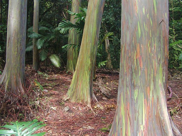 las kolorowych Eukaliptusów Hawaje