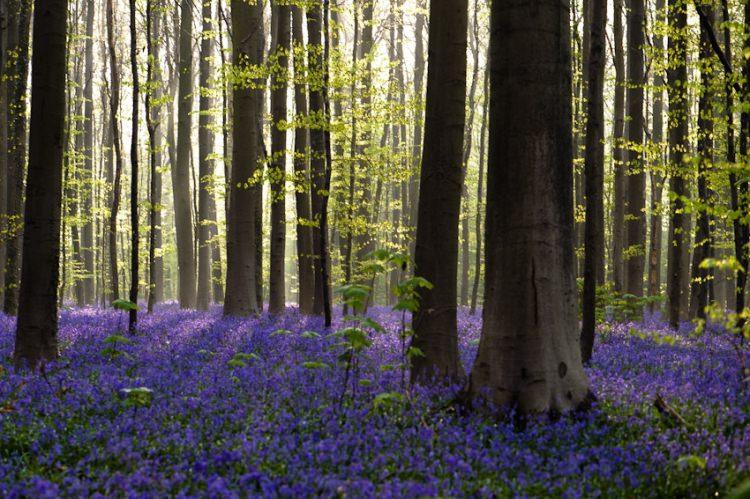 Niebieski las Hallerbos w Belgii