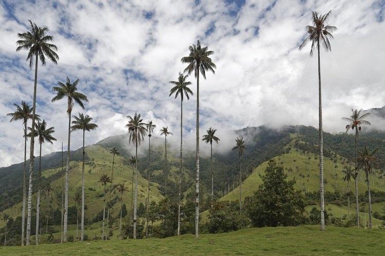 palmy w dolinie Cocora - Kolumbia