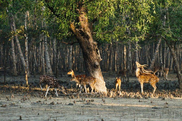 Sundarbany w Indiach