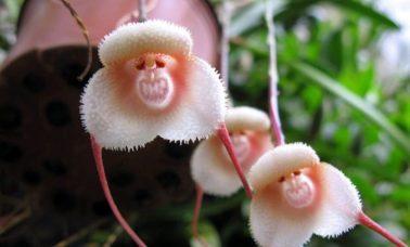 Dracula Simia - małpi kwiat