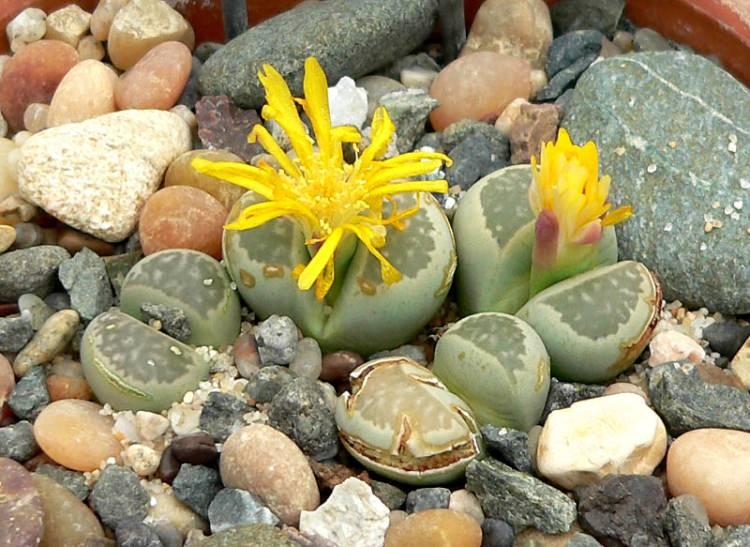 Kwitnący Lithops