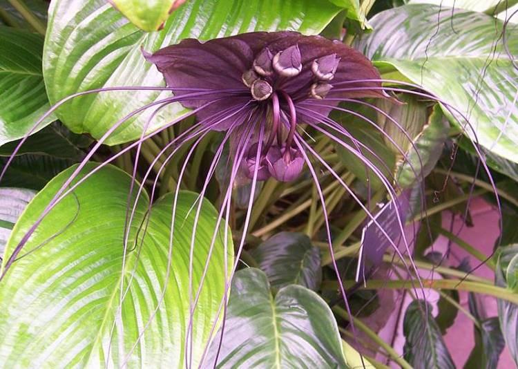 Kwiat nietoperz, Tacca chantrieri