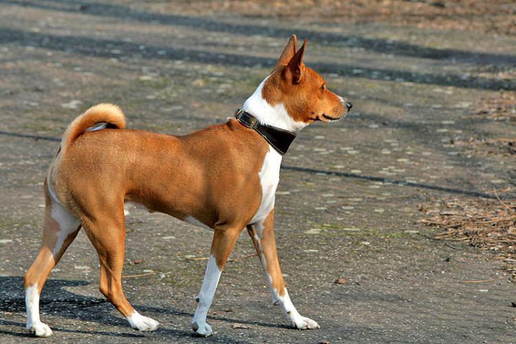 pies rasy Basenji