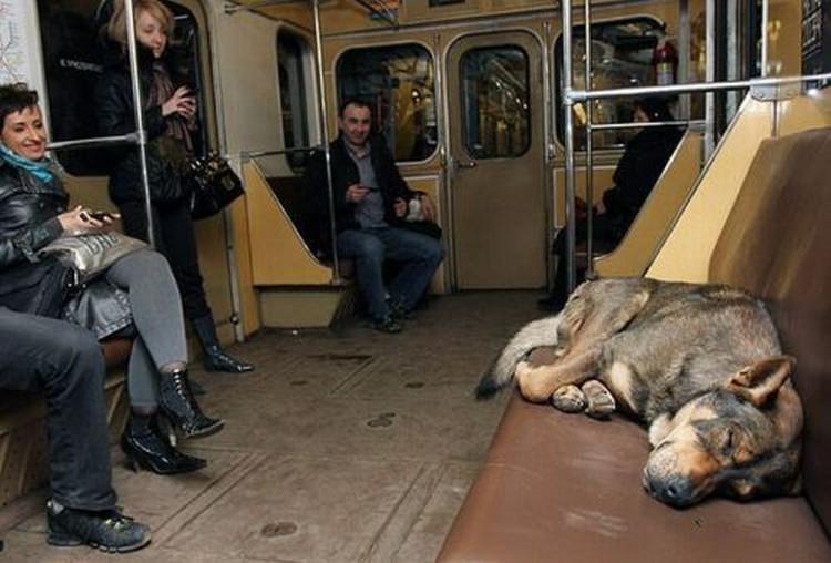 Rosja - psy w metrze