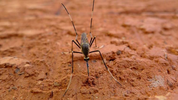największy komar świata