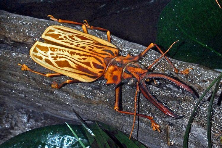największe chrząszcze na świecie