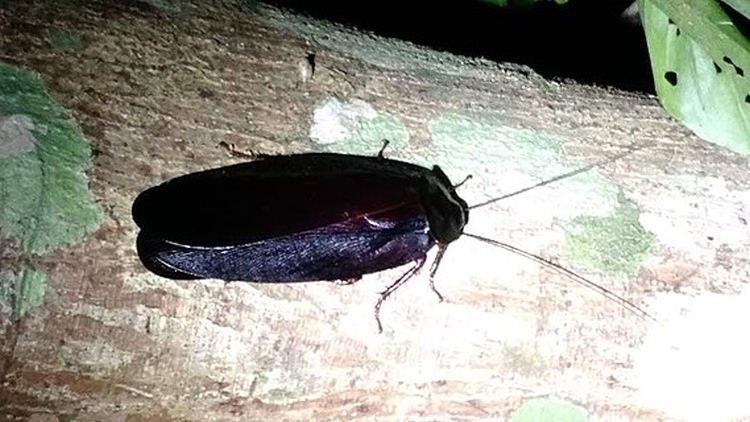 największy karaluch na świecie
