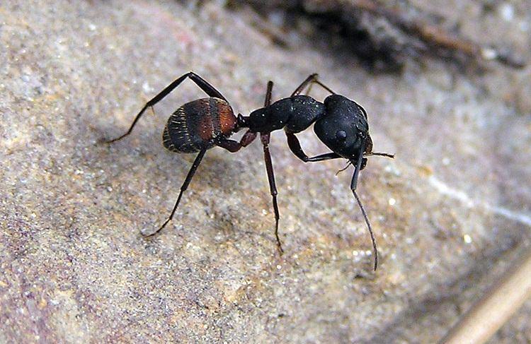 Dinoponera gigantea jedna z największych mrówek świata