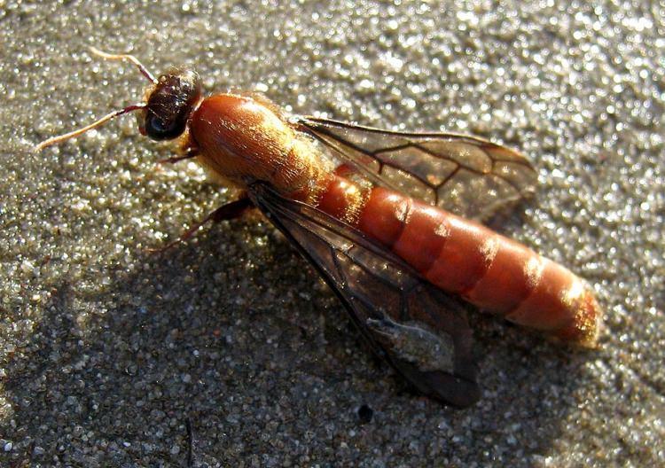 największa mrówka na świecie