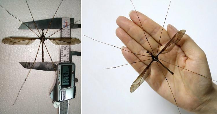największe owady świata