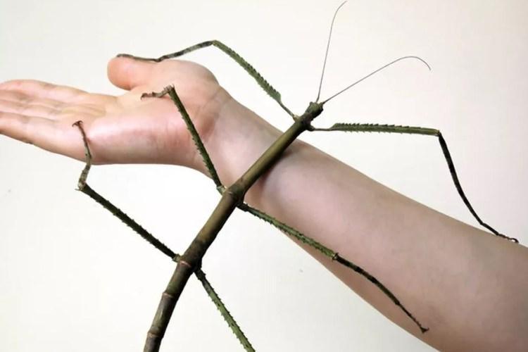 Phryganistria chinensis Zhao to największy owad na świecie