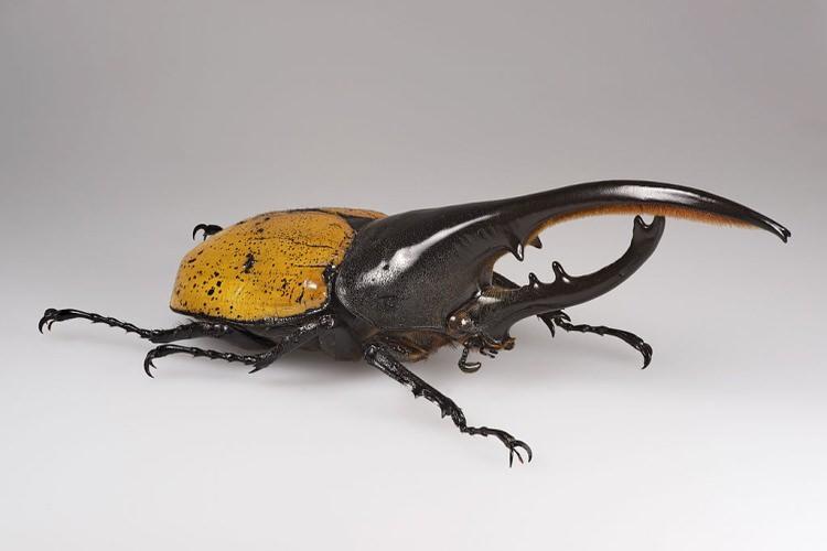 Rohatyniec Herkules - największe owady świata