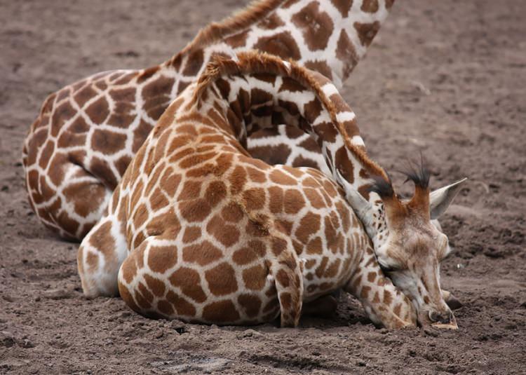 jak śpi żyrafa?