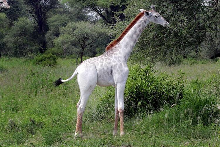 OMO  biała żyrafa